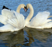 "Swan (Hansa) is a symbol for Brahman-Atman in Hindu iconography - ""Mozzercork - Heart (by)"" by mozzercork - Heart. Licensed under CC BY 2.0via Wikimedia Commons."